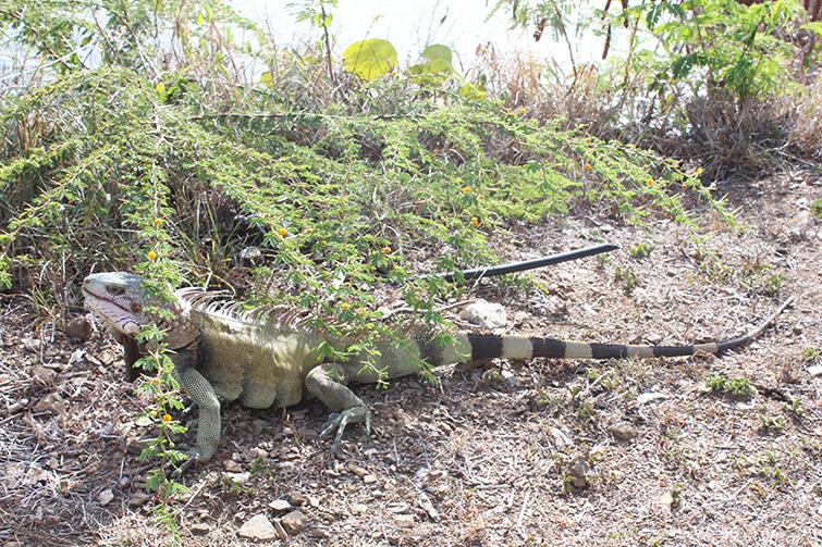 iguana in caribbean