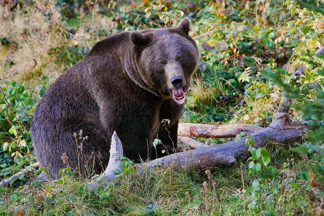 állatvilág, természet, barnamedve, Tusnádfürdő, Erdély, Székelyföld,