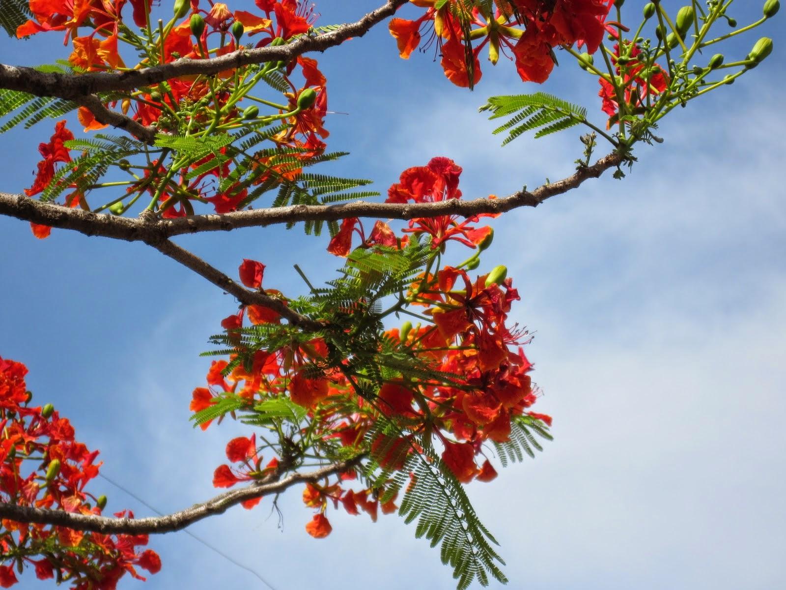 tải hình nền hoa phượng đỏ đẹp nhất