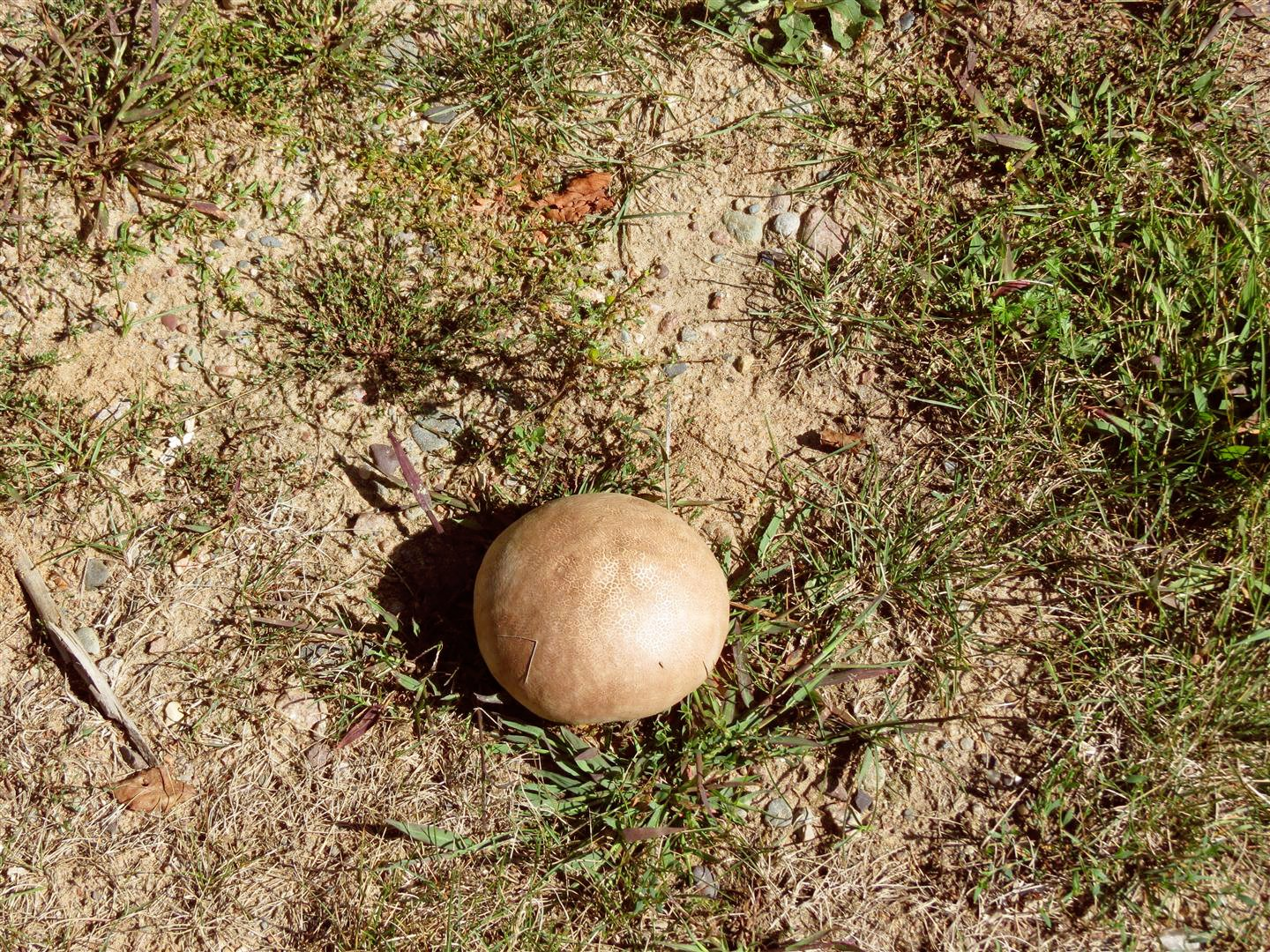 first this huge mushroom in the driveway which we were letting grow