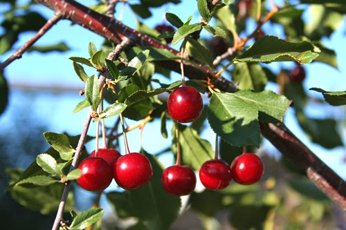 Wild Cherry herb for asthma