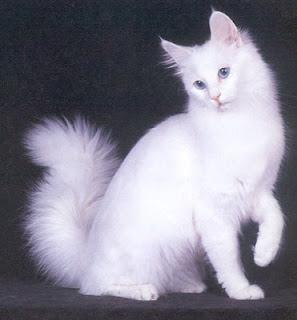 Cara Sehat Merawat Kucing Ras Anggora
