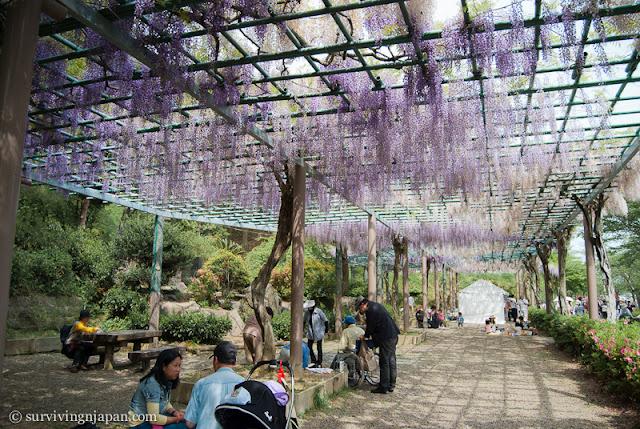 fuji, wisteria, matsuri, festival, Shizuoka, Japan