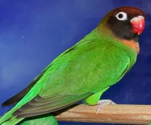 CARA PERAWATAN LOVE BIRD YANG OVER BIRAHI ALA JAWARA