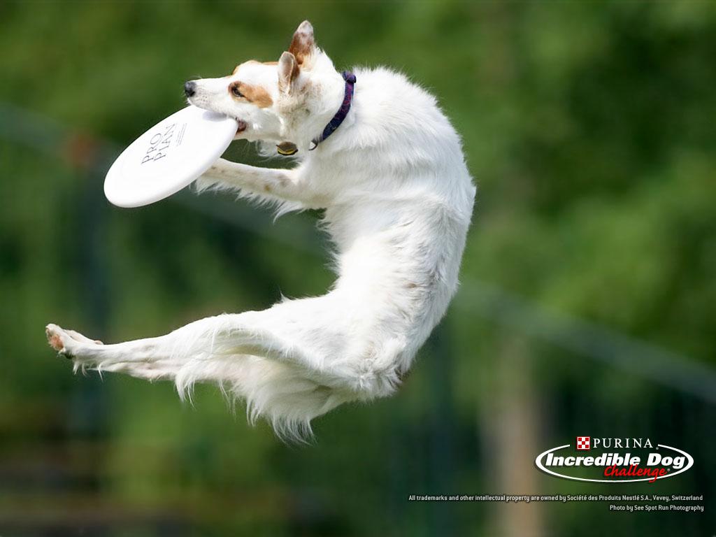 http://3.bp.blogspot.com/-hGh99Wgpz5I/Tgnb6UUWSuI/AAAAAAAAI4U/jBLit3gMB2o/s1600/frisbee_dog_air_wallpaper_1024.jpg