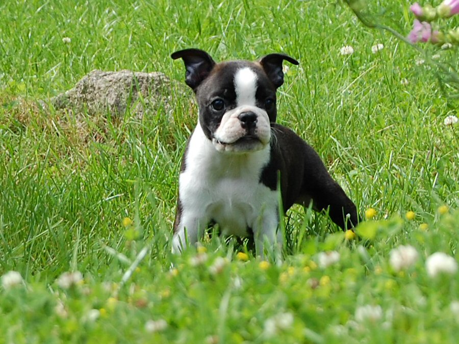 Cute Puppy Dogs: Cute boston terrier puppies