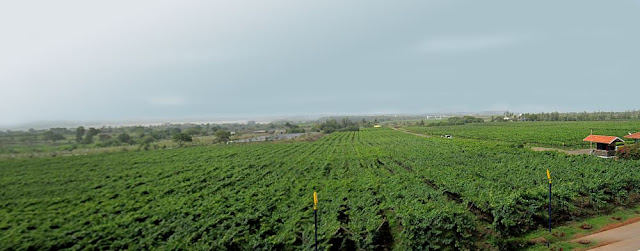 panoramic view of vineyard