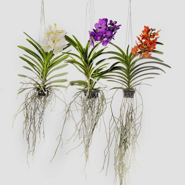 odmiany orchidei wanda