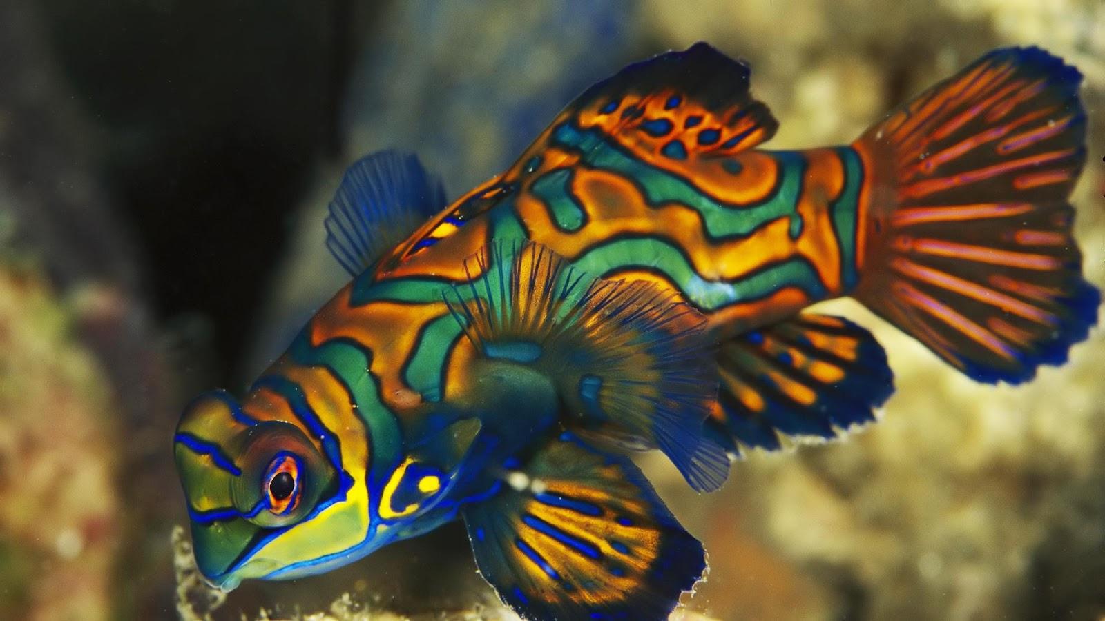 Dragonets mandarin fish full hd desktop wallpapers 1080p for Colorful tropical fish