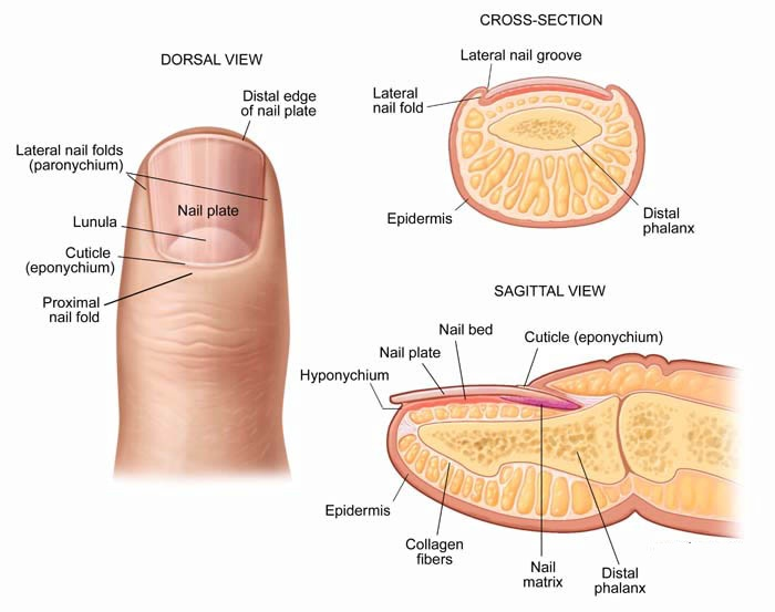 nail root nail plate cuticle eponychium perionychium and hyponychium    Eponychium