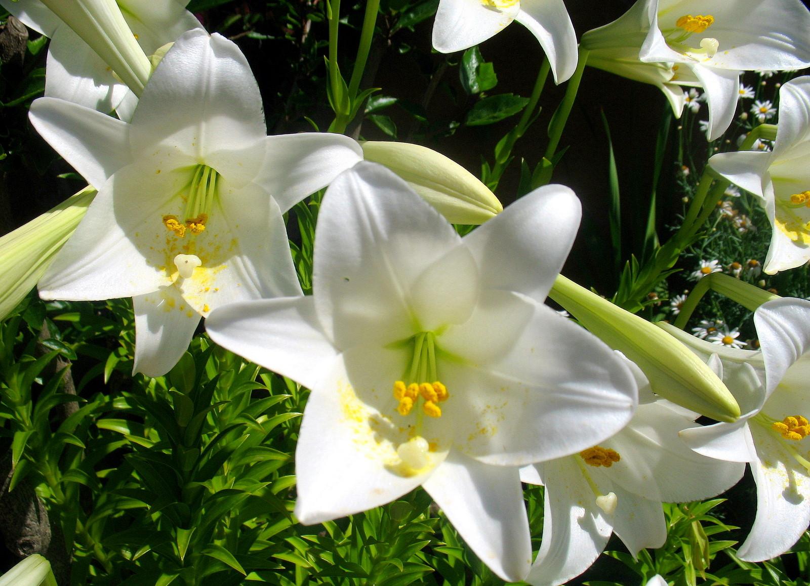 Lys royal blanc - Lys blanc signification ...