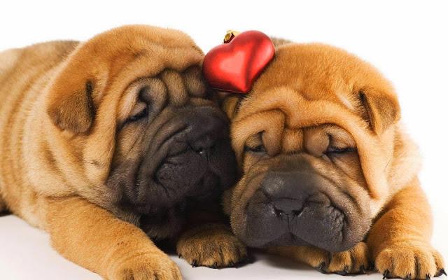 Fotos de Cachorritos Shar Peis