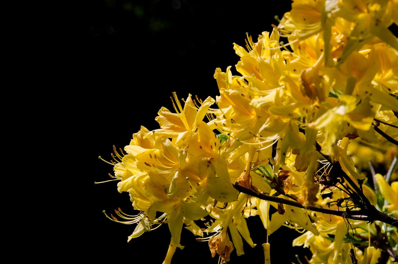 baum des tages rhododendron 1. Black Bedroom Furniture Sets. Home Design Ideas