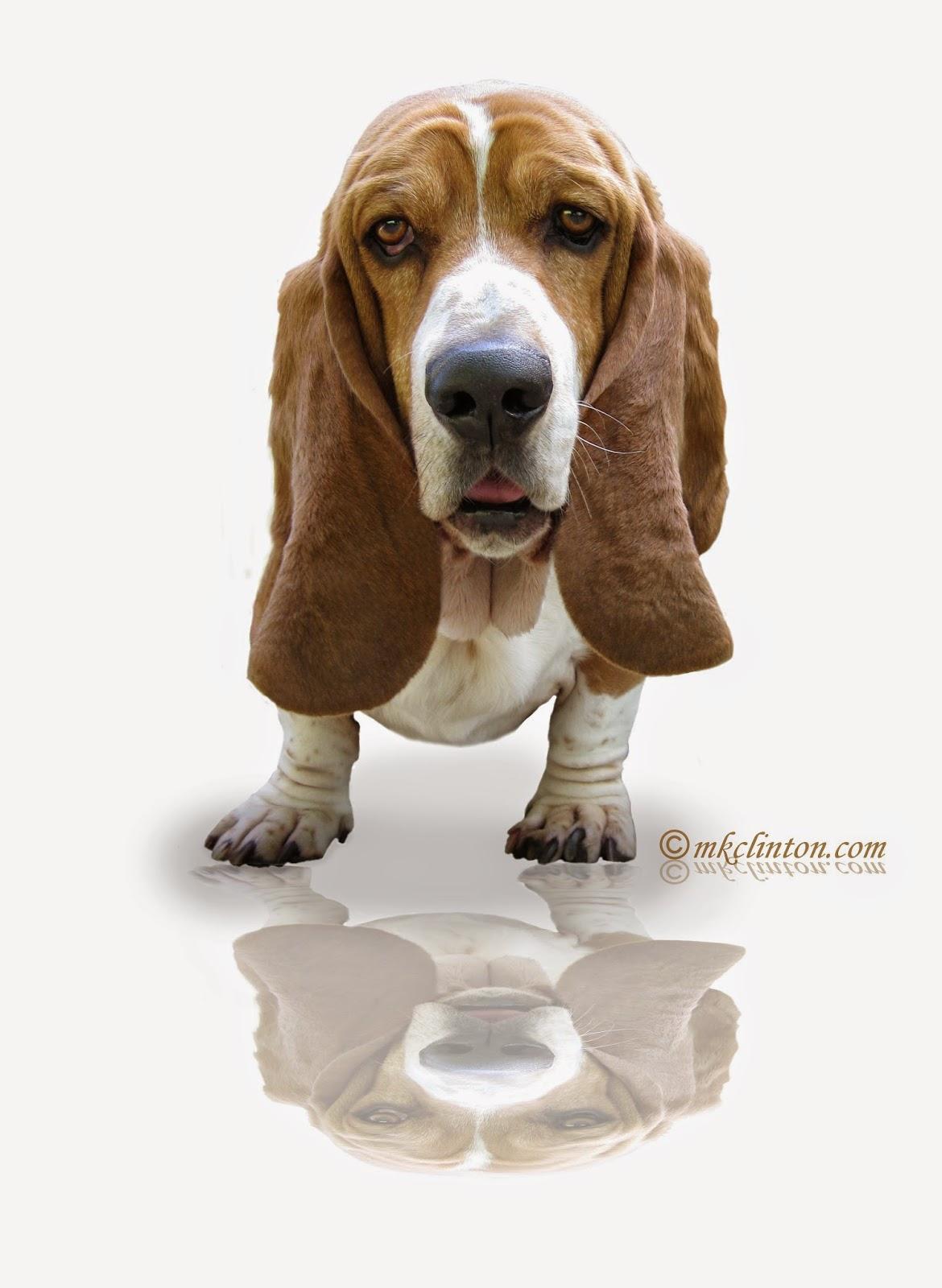 Basset Hound reflections