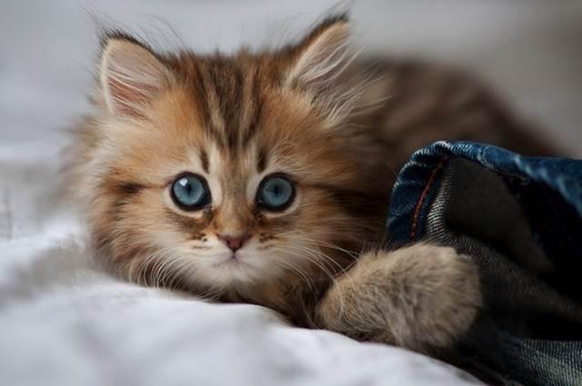 anak kucing comel bermata biru