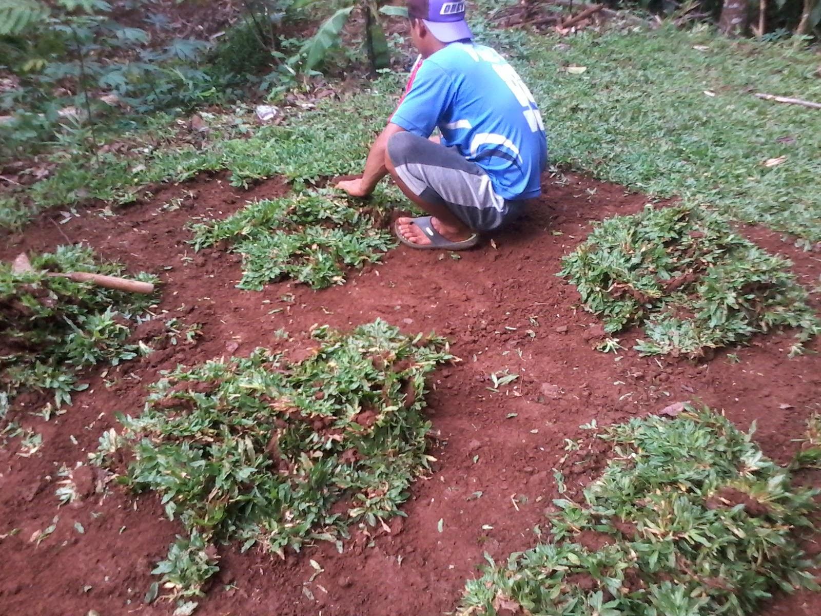 Tukang rumput dan tanaman | rumput gajah mini dan aneka tanaman hias | jasa tukang taman minimalis