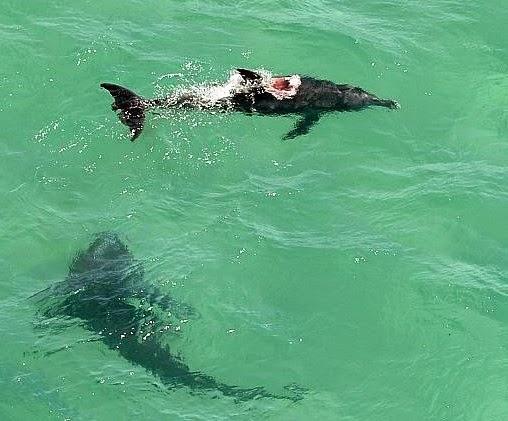 World Sharks News AUSTRALIA Monster Tiger Sharks Attack On Dolphin