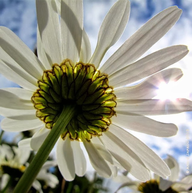 daisy ruin, Oughterard, Annie Japaud Photography