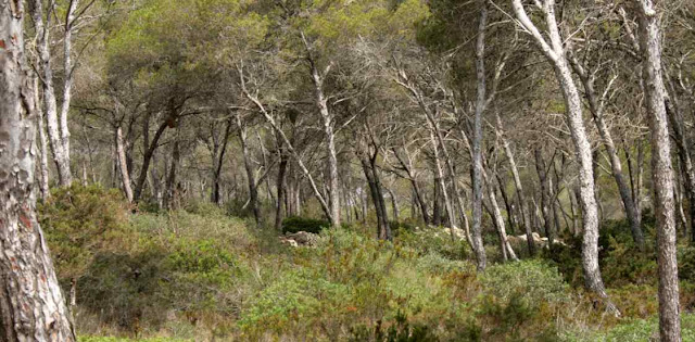 Bosque de pinos y arboles