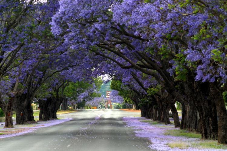 Jacaranda street for Arboles bonitos para jardin