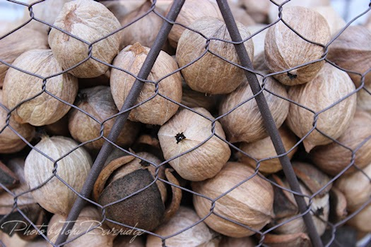 Hickory Nuts Photo by Tori Beveridge