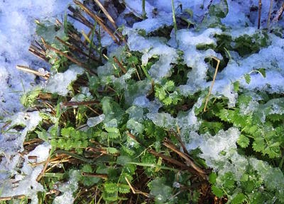 salad burnet in the snow