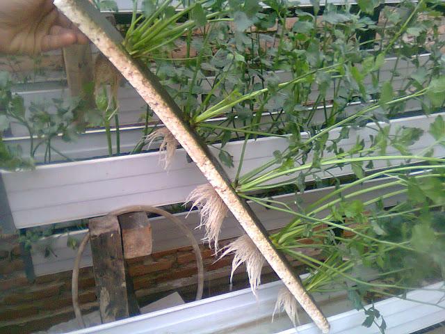 Seledri Hidroponik