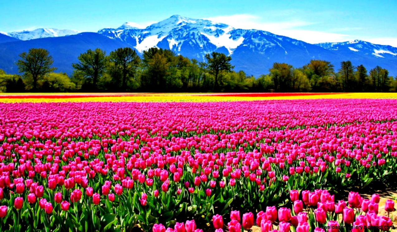 Gallery For Tulip Fields Wallpapers Top 40 HQ Tulip Fields