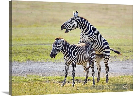 zebras mating | My HD Animals