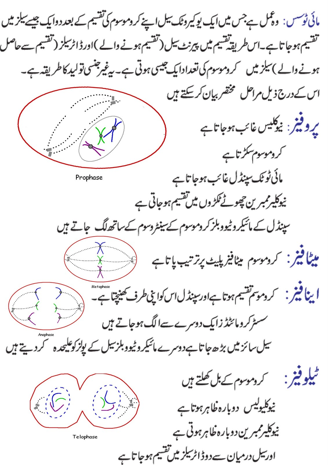 Mitosis with diagram in english and urdu online academy mitosis in urdu pooptronica