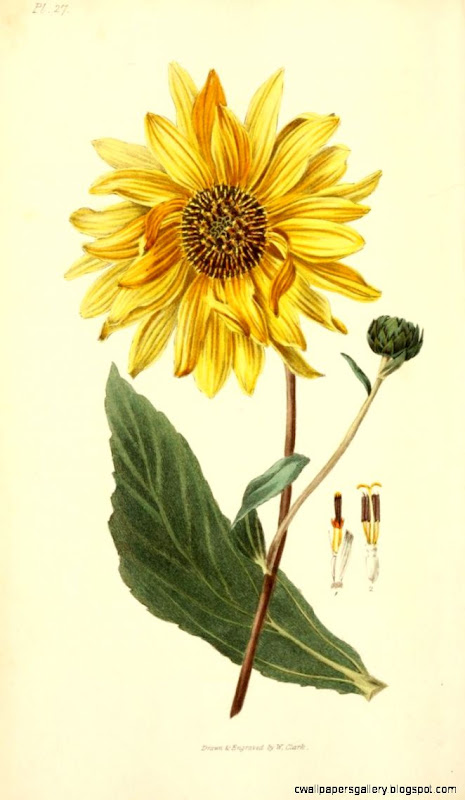 Helianthus Atrorubens from the book Flora Conspicua  Nature