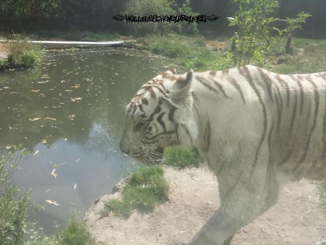 Tigre blanc qui marche près de nous à Touroparc