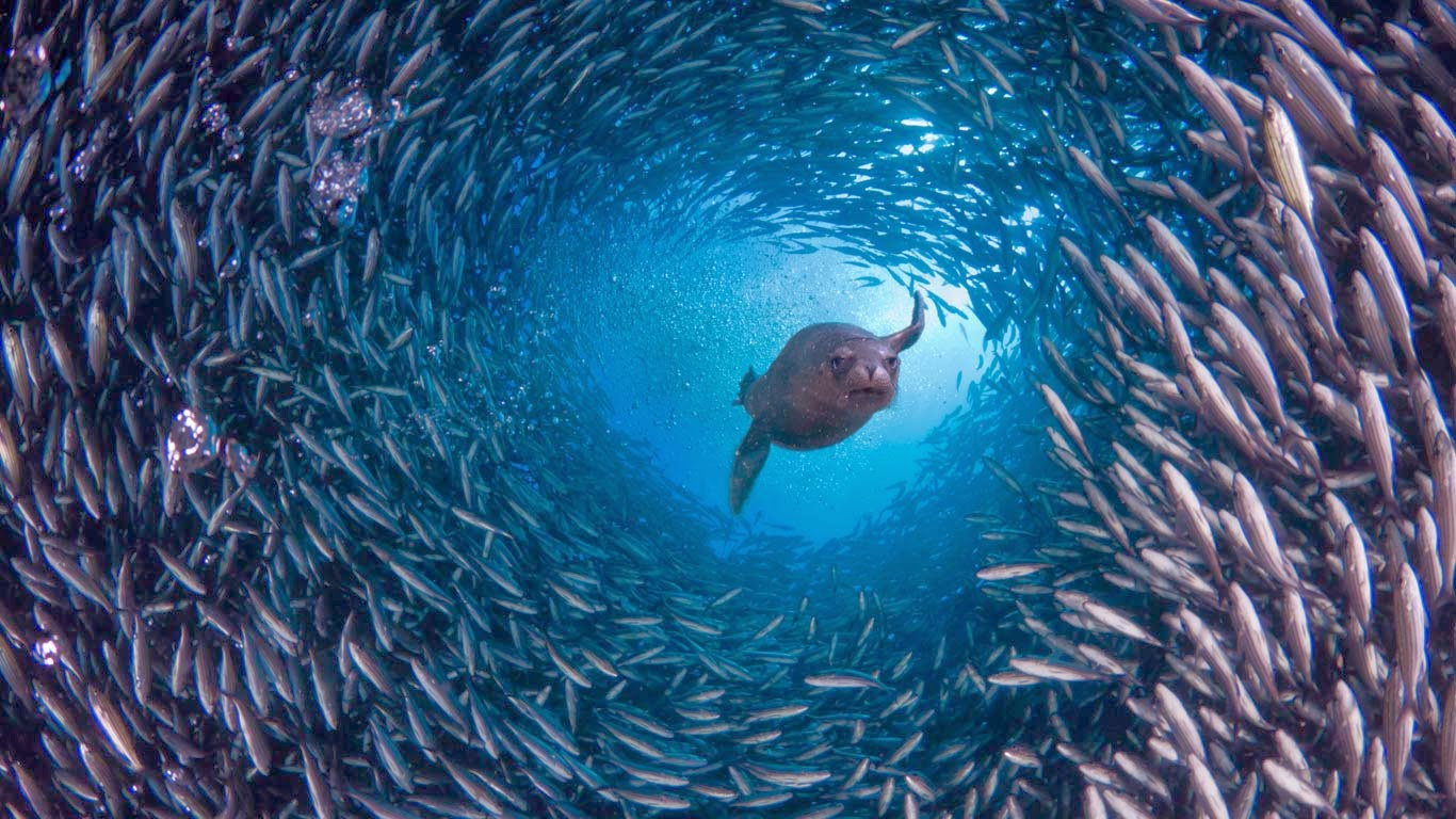Galápagos sea lion swims through a school of black-striped salema fish off Santa Cruz Island, Galápagos Islands, Ecuador (© David Fleetham/Visuals Unlimited, Inc.) 290