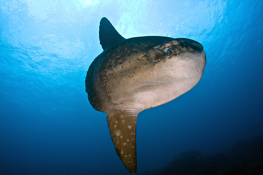 Real monstrosities ocean sunfish for The mola mola fish
