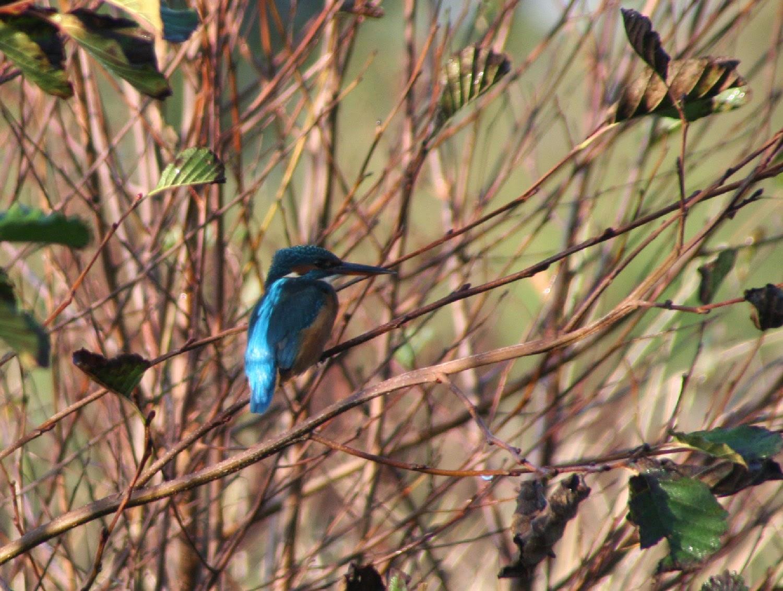 Kingfisher in closeup
