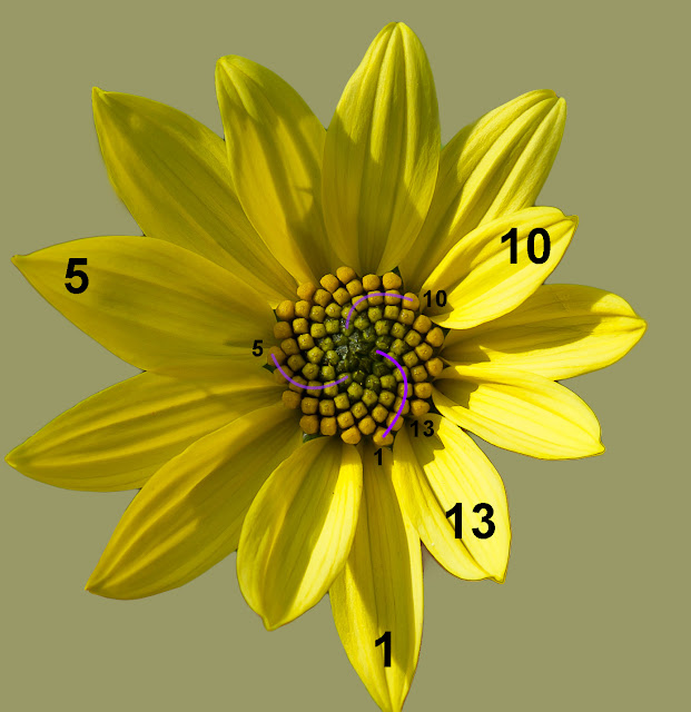 Flower seed head fibonacci numbers