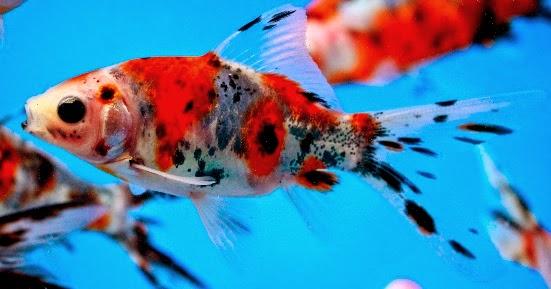 La nouvelle aquariophilie le poisson rouge carassius for Poisson rouge reste fond aquarium