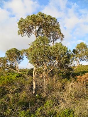 Eucalyptus drummondii