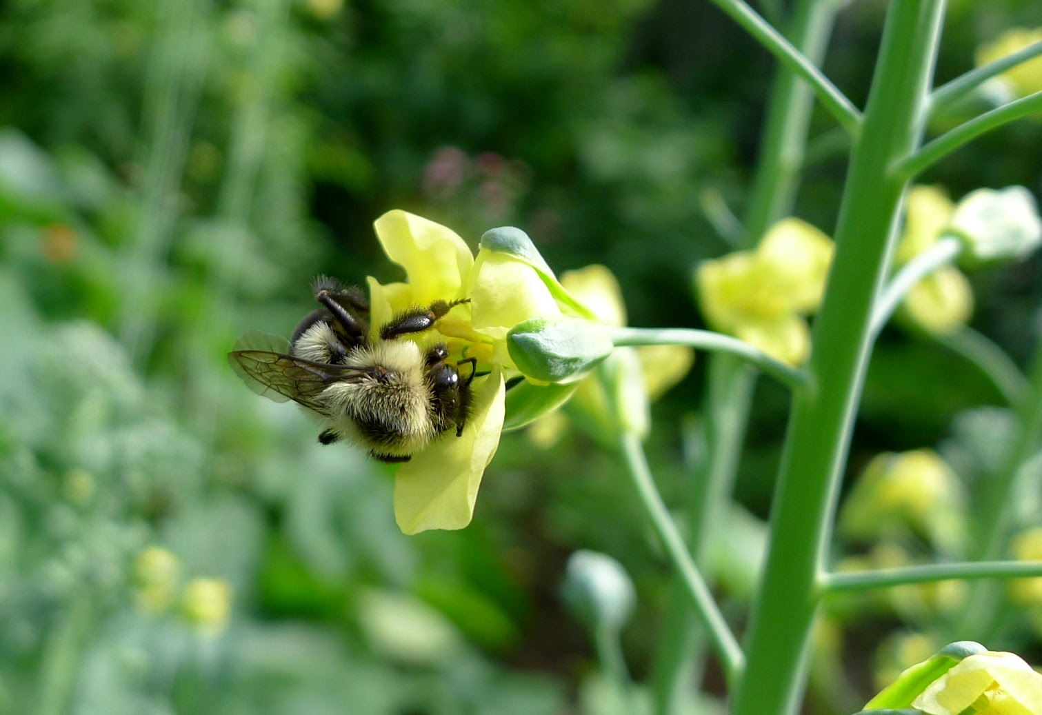 Bumble Bee on Broccoli Flower