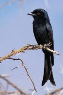 vorkstaart drongo's zijn zangvogels: luidruchtige, actieve vogels, allemaal zwart en de meeste soorten met g