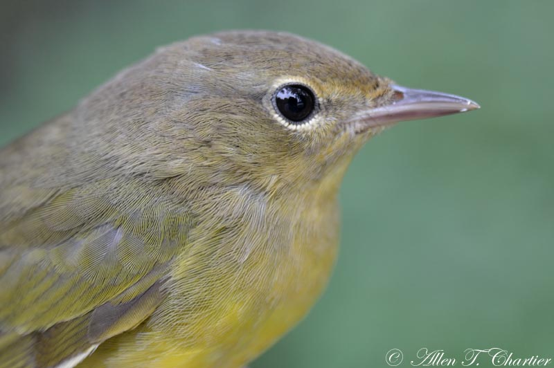 Mourning Warbler Female
