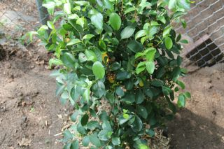 photo of black chokeberry awaiting compost mulch