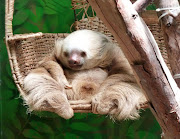 Two Toed Sloth two toed sloth