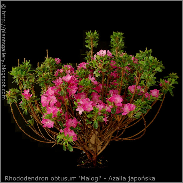 Rhododendron obtusum 'Maiogi' - Azalia japońska 'Maiogi' pokrój