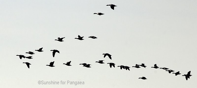 flock of geese flying to the North