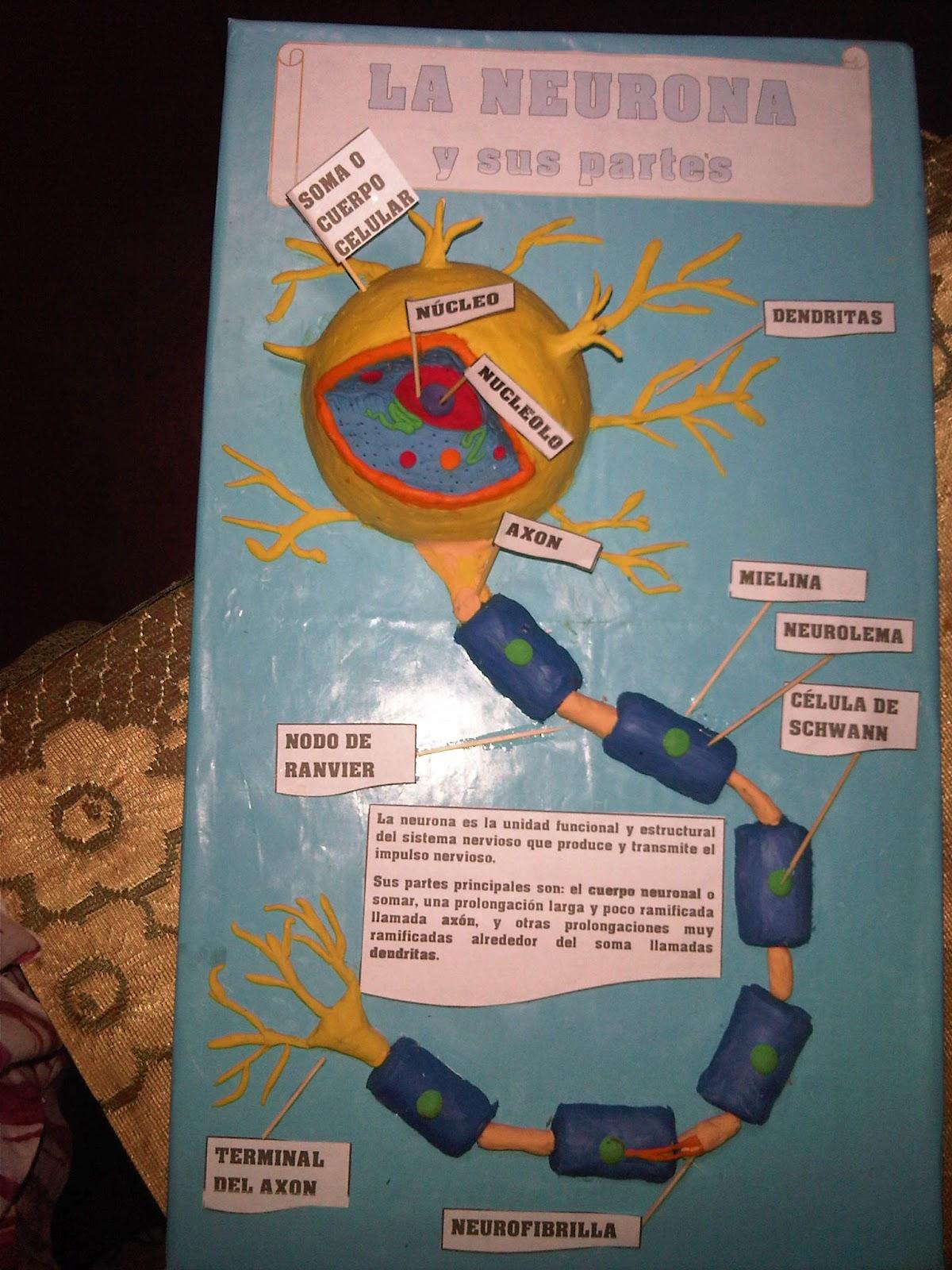 Aqui Un Acercamiento De Las Partes De La Neurona