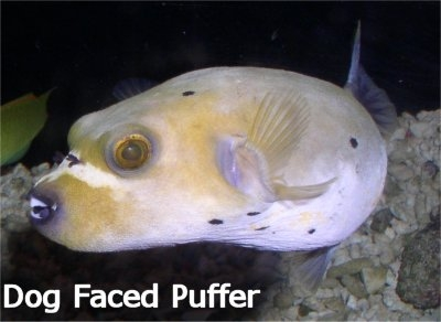 Life story nayra for Dog face puffer fish
