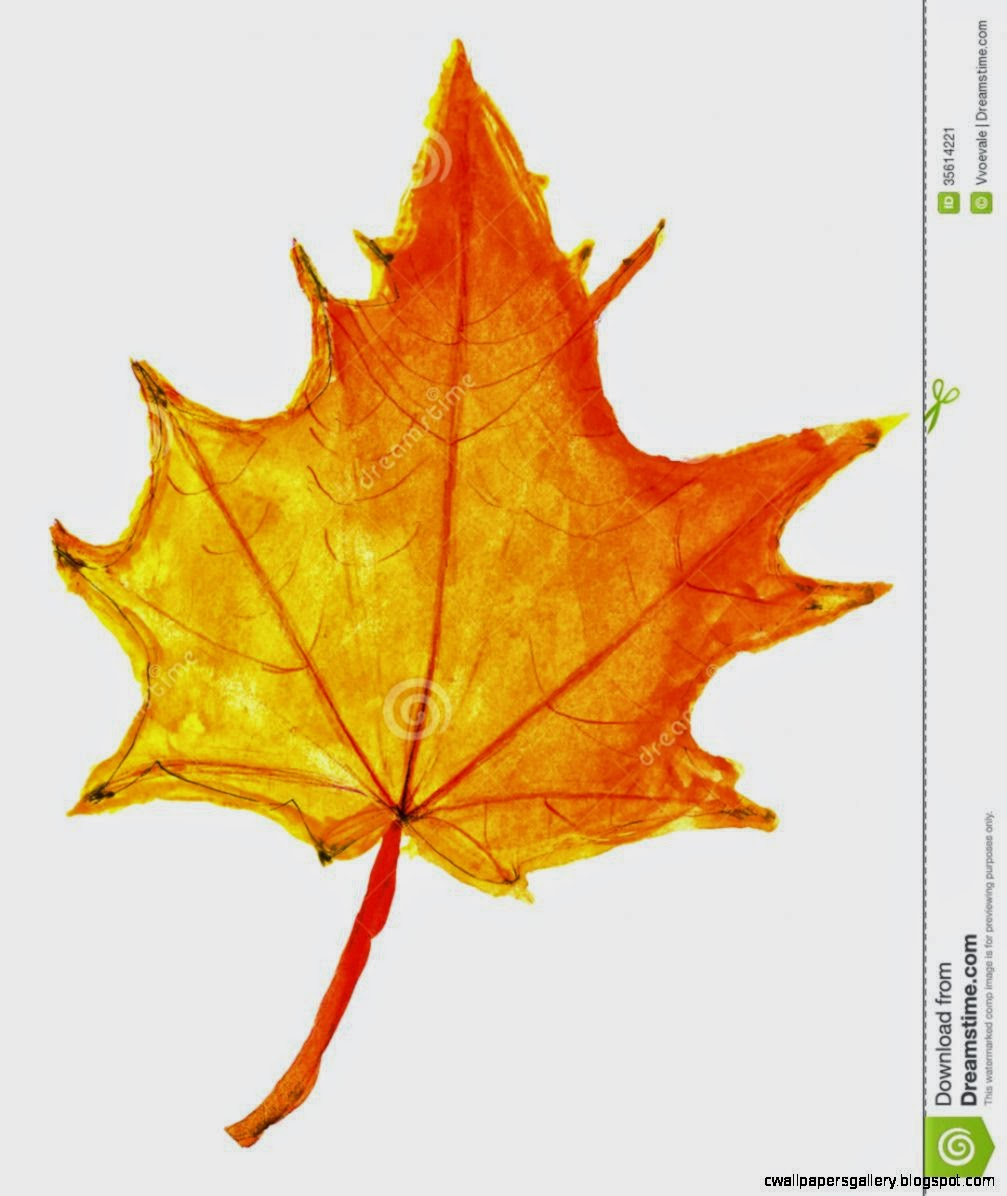 Children Drawing   Autumn Yellow Maple Leaf Stock Image   Image