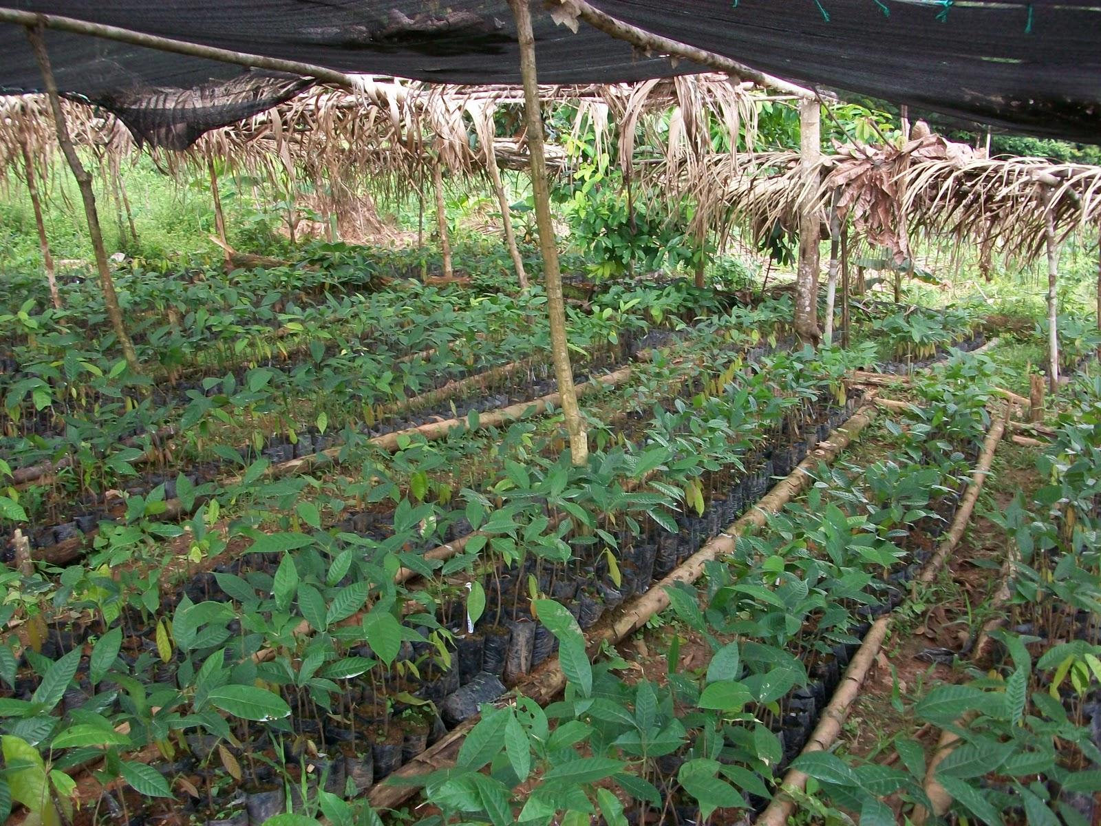 Vivero las ceibas viveros de cacao for Materiales para un vivero