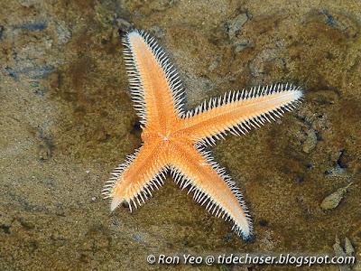 Sand star (Astropecten sp.)